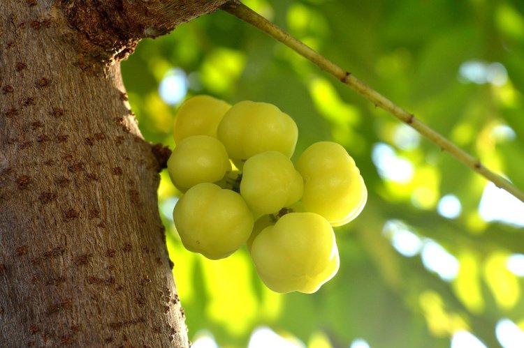 Guinda or Star Gooseberry, El Salvador Fruits