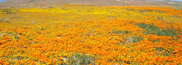 An Orange Sea in the Middle of the Mojave Desert