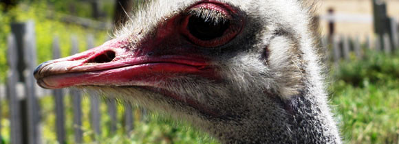 Ostriches are not as friendly as you think