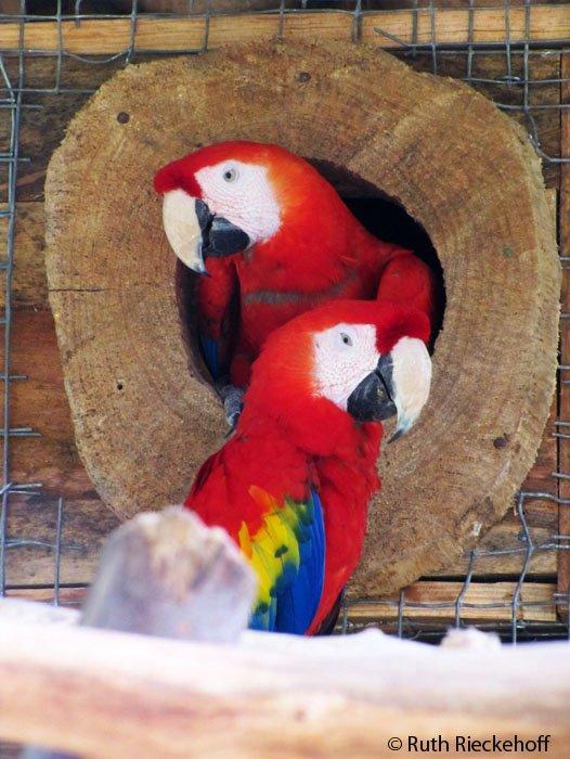 Red Macaws Nest, Macaw Mountain, Copan, Honduras - Tanama Tales Macaw Nest