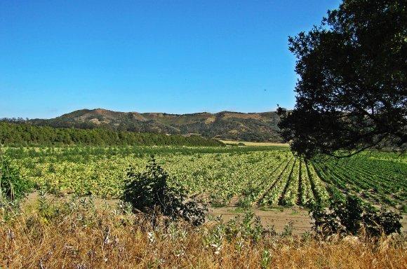 Crops in the Santa Ynez Valley, California