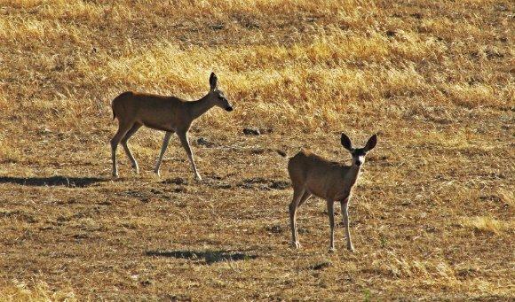 Deers in the Santa Ynez Valley, California