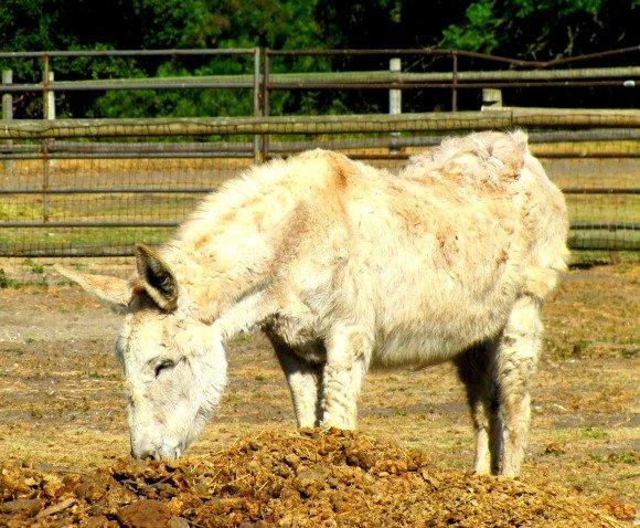 Donkey, La Purisima Mission, Lompoc, California