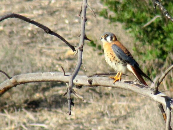 Red Hawk, Portuguese Bend Reserve, Palos Verdes Peninsula, California
