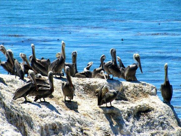 Pelicans, Shell Beach, California