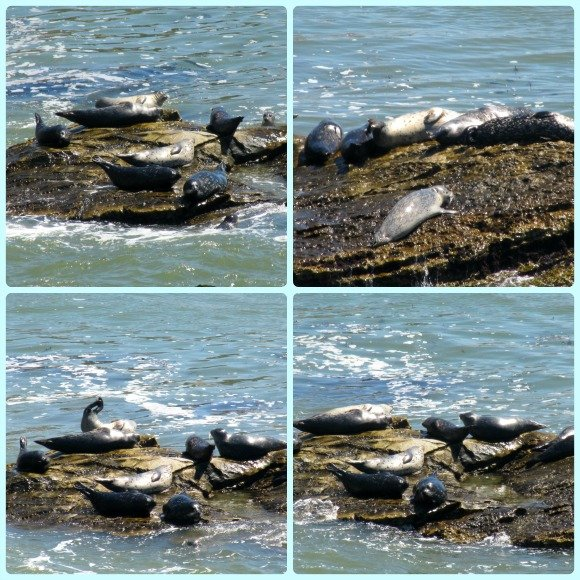 Harbor Seals, Shell Beach, California