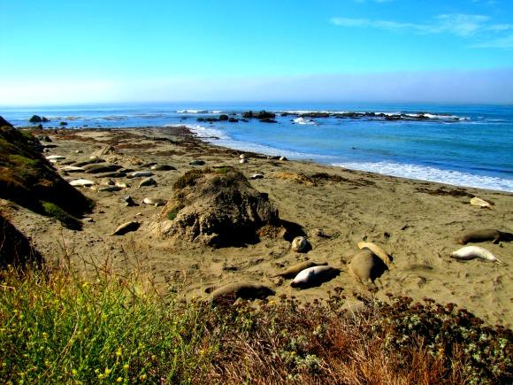 Piedras Blancas Rookery, San Simeon, California
