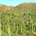 Saguaro National Park, Cactus, Tucson, Arizona