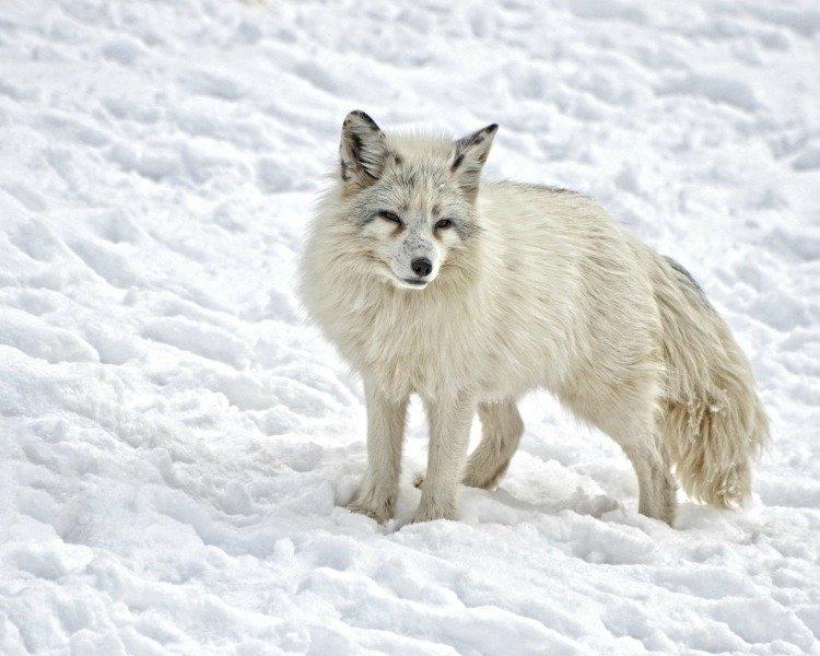 Arctic Cruise, Northern Lights, Aurora Borealis, Fox
