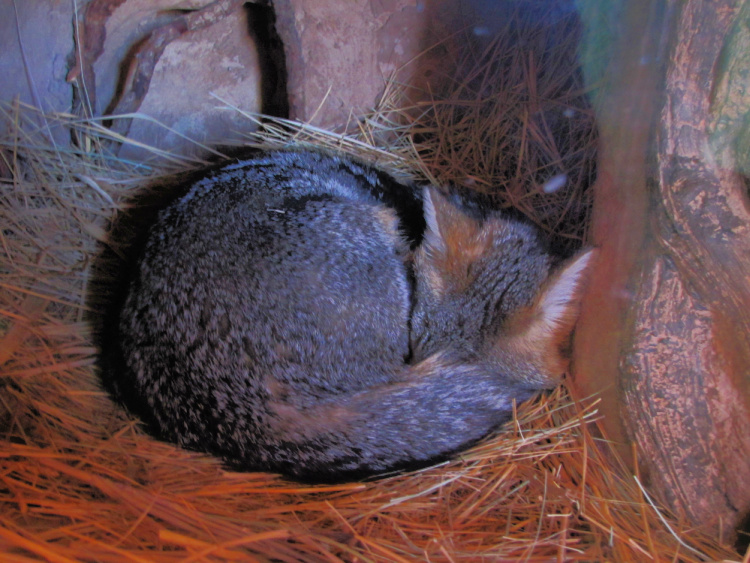 Fox Sleeping in Las Vegas Spring Preserve