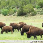 Bisons eating lunch