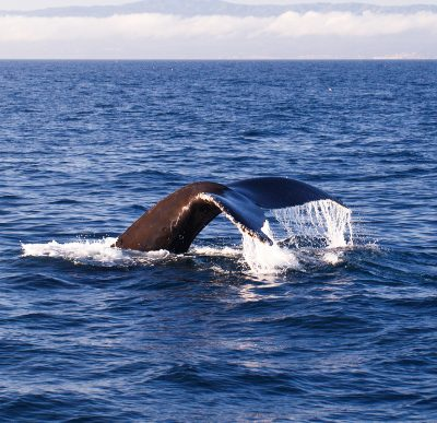 Whale Watching in Newport Beach, California
