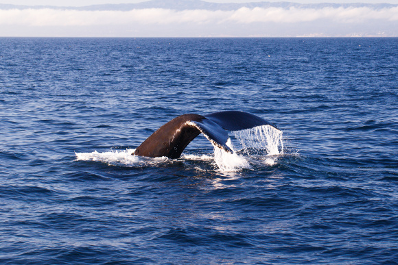 Whale Watching in Newport Beach, California, Whale's Tail