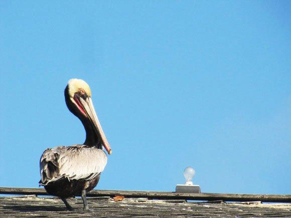 Lonely Pelican, Newport Beach, CA