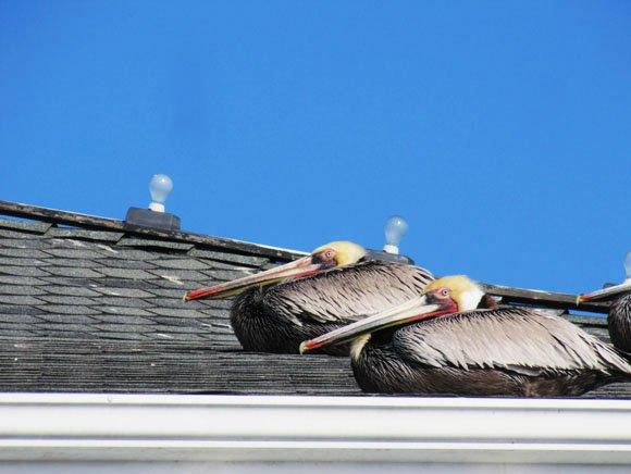 Two Pelicans in a Roof, Newport Beach, CA