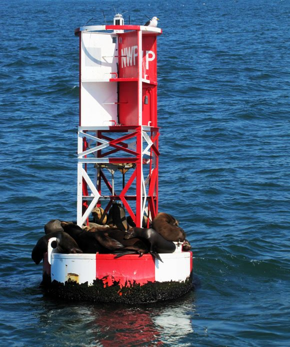 Sea lions warming over buoy, Newport Beach, CA