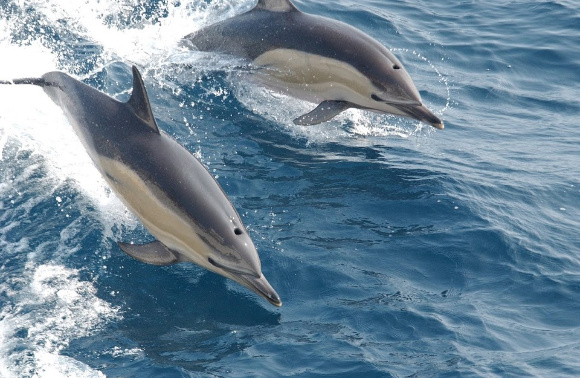 Whale Watching in Newport Beach, California, Common Dolphins