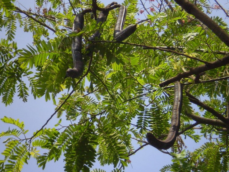 Carao (Cassia Grande), Fruits El Salvador
