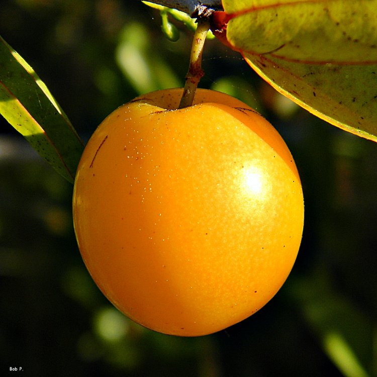 Pepenance or hog plum, a fruit found in El Salvador
