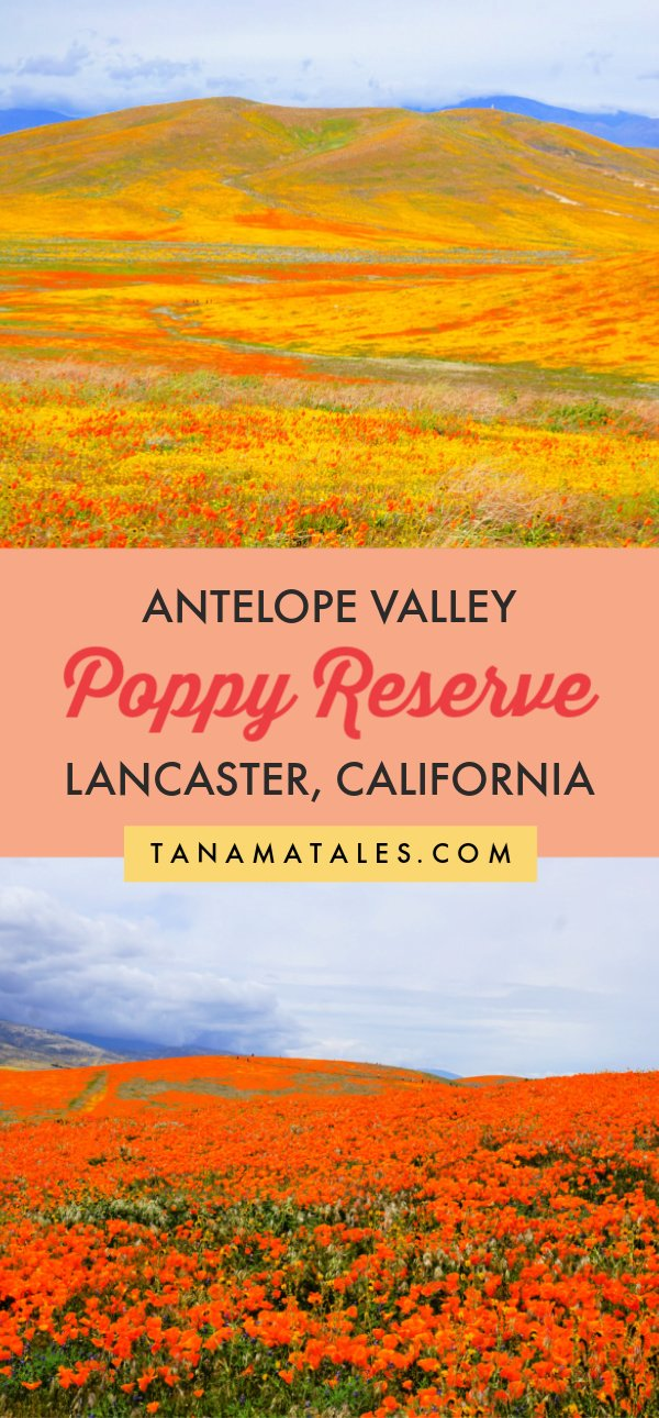 Things to do in #Lancaster, #California – Travel tips and vacation ideas - In the Antelope Valley Poppy Reserve, located north of Los Angeles, close to the city of Lancaster, poppies cover an area of 1,781 acres.  And, that is just within the reserve! The adjacent and nearby areas are covered in flowers too. Come and take a look at this spectacle of nature! #LosAnegeles #SouthernCalifornia