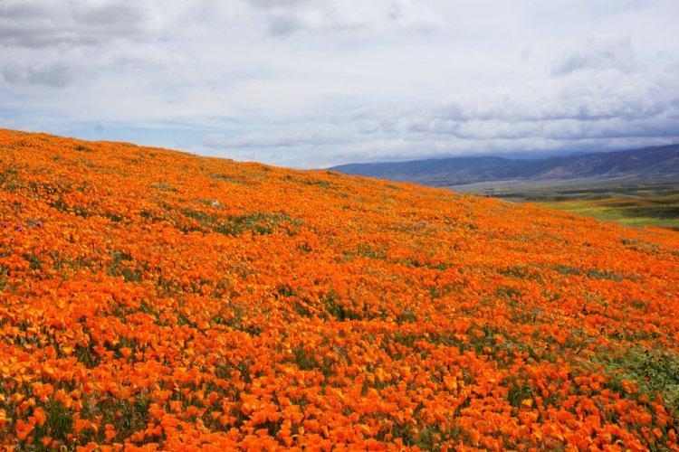 Antelope Valley Poppy Reserve, Lancaster, California