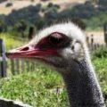 Ostrich Profile, OstrichLand USA, Solvang, California
