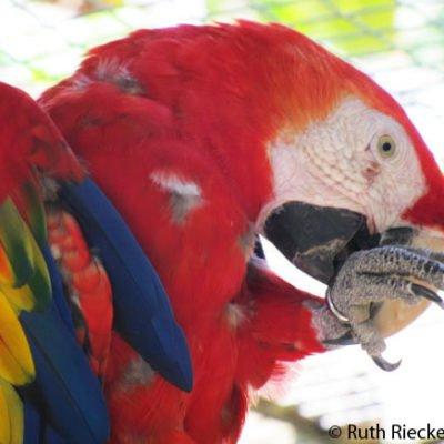 Macaw Mountain: Tropical Birds Galore in Honduras