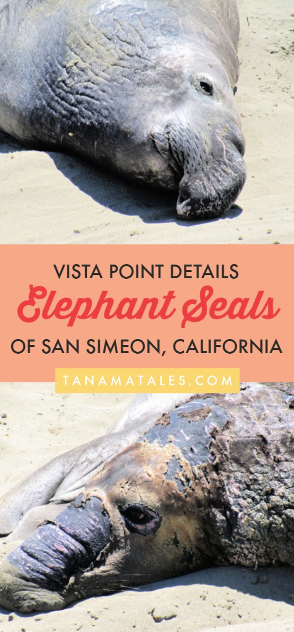 Things to do in San Simeon, #California – Travel tips and ideas – San Simeon is a wonderful place to visit on a Pacific Coast Highway road trip.  It is home to beautiful Hearst Castle, but the elephant seals at the Piedras Blancas rookery steal the show. Come and pay them a visit! #CentralCoast #PCH #USA
