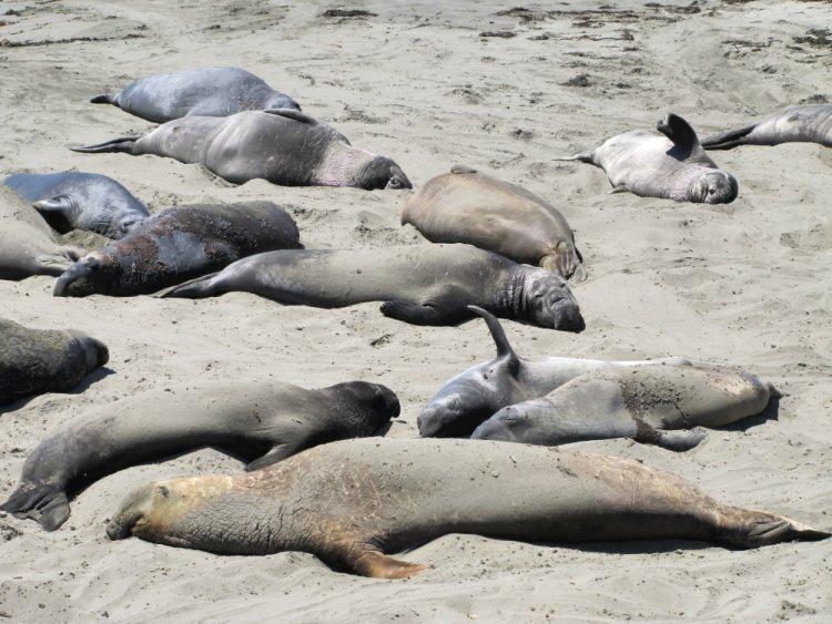 San Simeon Elephant Seal