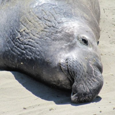 San Simeon: Elephant Seal Vista Point