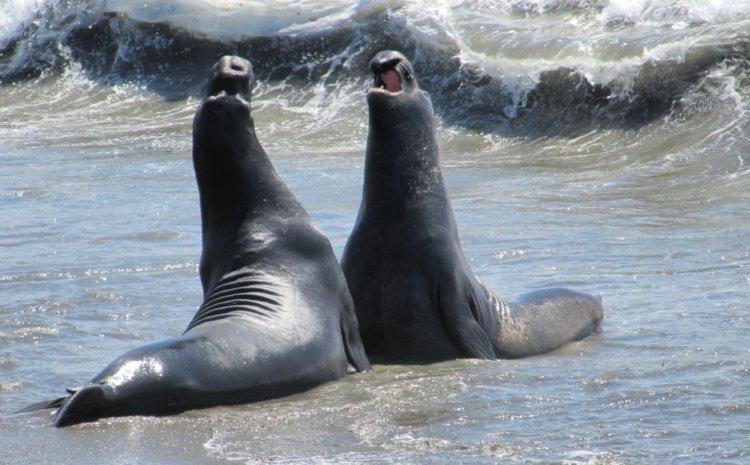 Elephant Seal Vista Point, San Simeon Elephant Seal