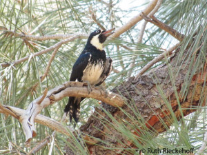 Woodpecker, Sandy Flats, Lower Kern River, California