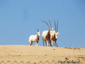 Scimitar Oryxes (considered extinct in the wild)