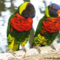 Lorikeets, San Diego Safari Park, Escondido, California