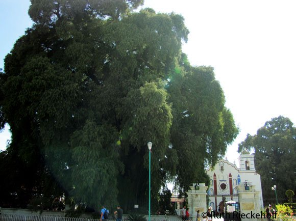 The big tree next to the church in the main plaza