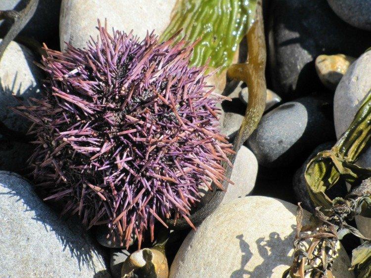 Urchin, Pelican Cove, Rancho Palos Verdes, California