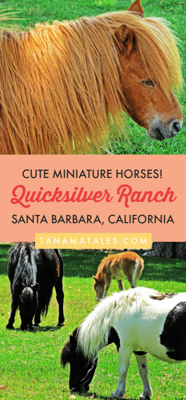 Things to do in Santa Barbara and #Solvang - Travel tips and ideas - The Quicksilver Miniature Horse Ranch is dedicated to breeding fine, miniature horses. Visitors are welcome to walk around the pens and observe the horses.  Do not miss these adorable horses if you are visiting the Santa Ynez Valley or Solvang. #California