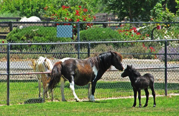 Quicksilver Miniature Horse Ranch, Solvang, California