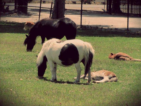Quicksilver Miniature Horse Ranch, Solvang, California