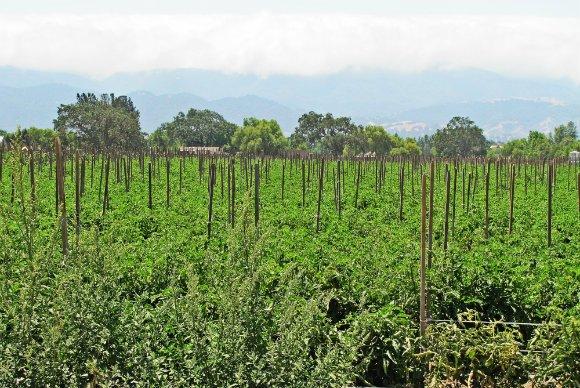 Tomato cultivation in the Santa Ynez Valley, California