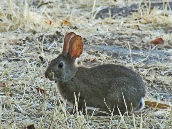 Wild rabbit in the Santa Ynez Valley, California