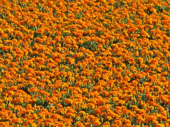 Flowers in the Santa Ynez Valley, California
