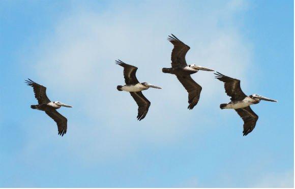 Pelicans in formation, Palos Verdes, California