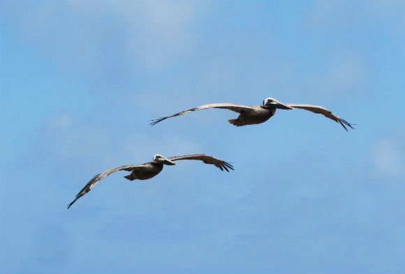 Pelicans in flight, Palos Verdes, California