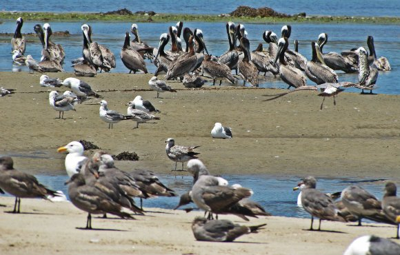 Pelicans and seagulls at Malibu Lagoon, Malibu Creek State Beach, Malibu, California