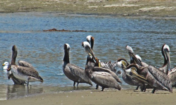 Pelicans at Malibu Lagoon, Malibu Creek State Beach, Malibu, California
