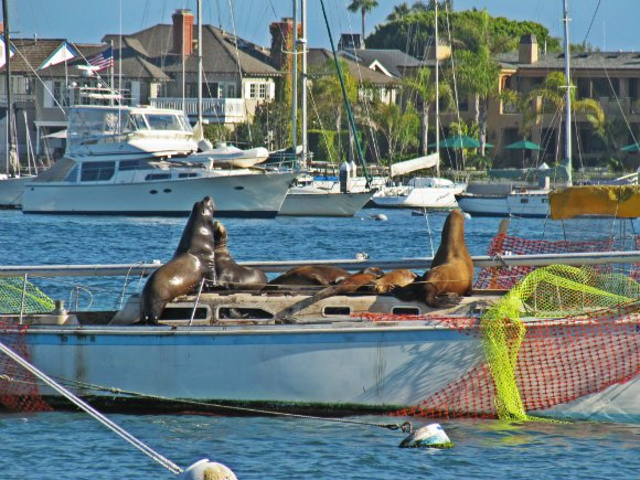 Sea lions 'vandalizing' boats, Balboa Island, Newport Beach, California