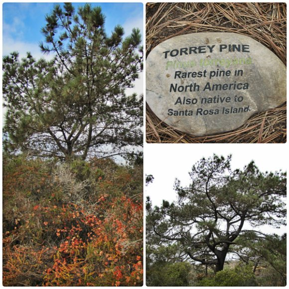The Torrey Pine, the rarest tree in North America, Torrey Pine State Reserve, San Diego, California