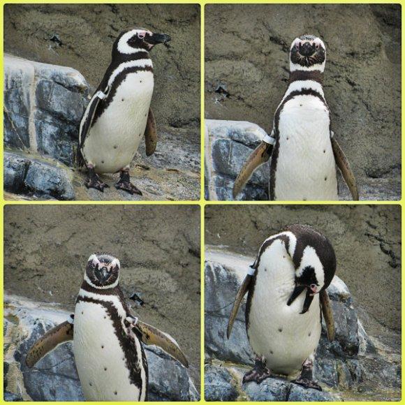 Penguin, Aquarium of the Pacific, Long Beach, California