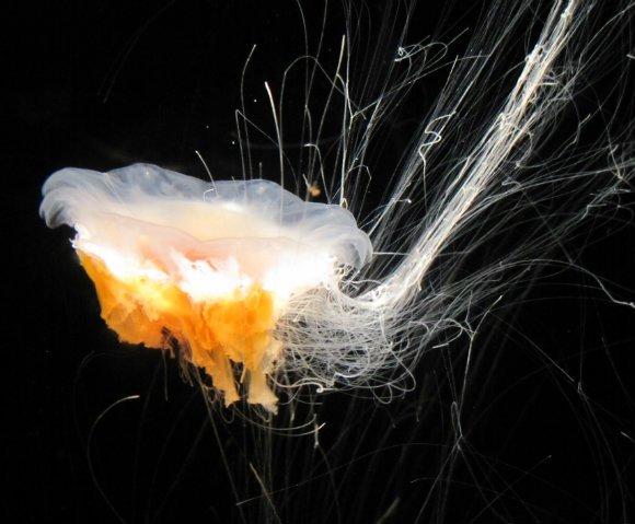 Lion Mane Jellyfish, Aquarium of the Pacific, Long Beach, California